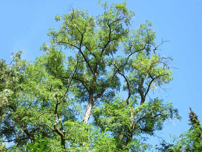 Robinienbaum