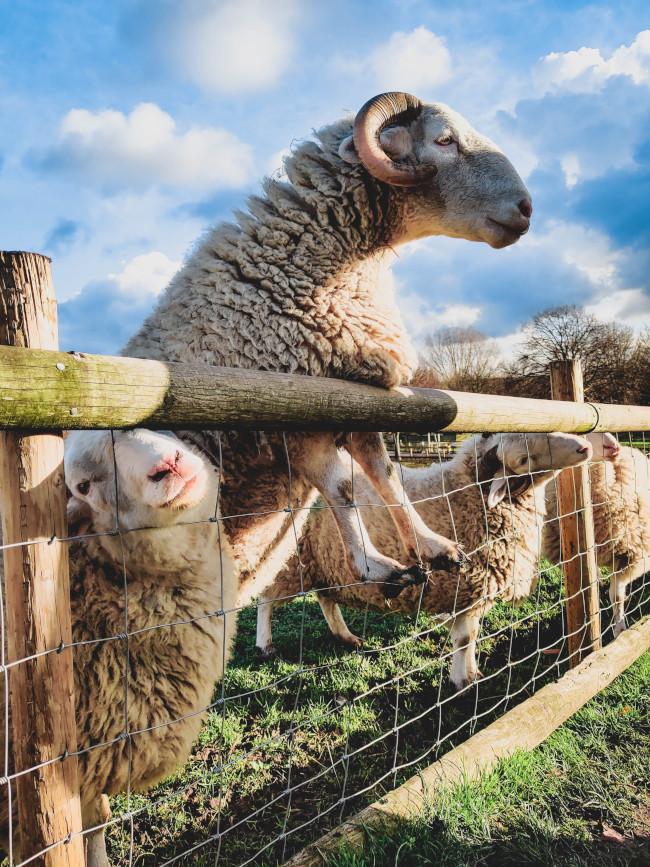 Zaun mit Schafen