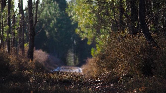 Heidekraut aus Pinienwäldern