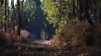 Heidekraut für den Sichtschutz kommt aus den Pinienwäldern bei Bordeaux