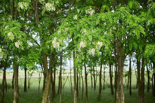 Robinienstämme aus nachhaltiger Forstwirtschaft in Ungarn