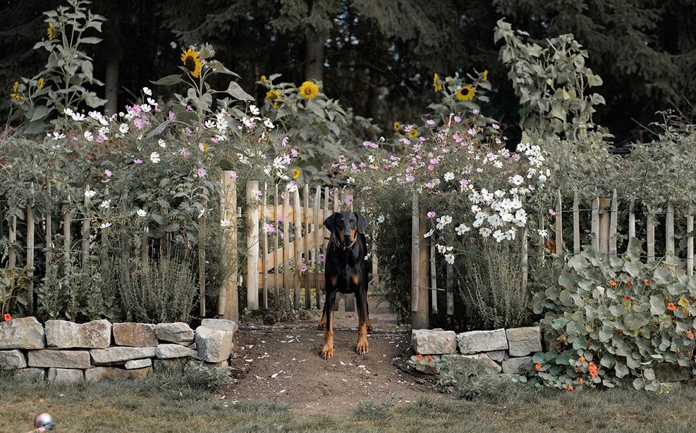 Hund mit Staketenzaun